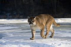 Puma or Mountain lion, Puma concolor Stock Photo