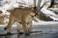 Puma or Mountain lion, Puma concolor Royalty Free Stock Photos