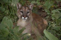 Puma na grama Fotografia de Stock Royalty Free