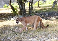 Puma na lasowej drodze Zdjęcia Stock