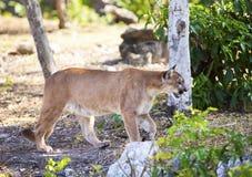 Puma na lasowej drodze Zdjęcia Royalty Free