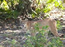 Puma na lasowej drodze Obraz Royalty Free