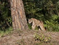 Puma na vigia Imagem de Stock