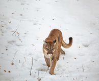 Puma nas madeiras Imagens de Stock Royalty Free