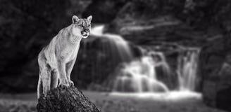 Puma nas quedas, leão de montanha foto de stock royalty free