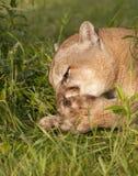 Puma nettoyant ses pattes Photos stock