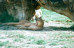 Puma o leone di montagna Immagini Stock Libere da Diritti