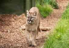 Puma- oder Gebirgslöwe, der in Richtung zur Kamera Nachrichtenmengendosierung ist Stockfotografie