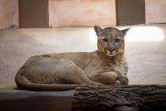Puma oder Puma im Zoo Stockfotos