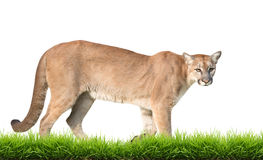Puma odizolowywająca Obraz Royalty Free