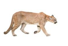 Puma odizolowywająca Zdjęcie Stock