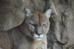 Puma. A puma in the outdoors stock photos