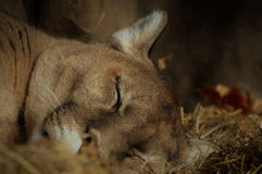 Puma. A puma in the outdoors stock photography