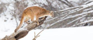 Puma panoramique photographie stock