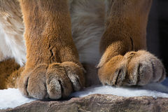 Puma Paws. A closeup shot of the paws of a mountain lion Royalty Free Stock Photography