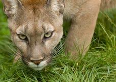 Puma Poised para atacar imagens de stock
