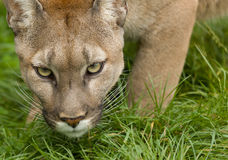 Puma Poised To Attack Stock Images
