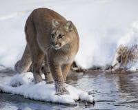 Puma porté en équilibre sur une île neigeuse image libre de droits