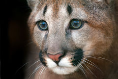 Puma portrait with beautiful eyes Stock Photos