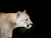 Puma portrait on black Royalty Free Stock Images