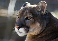 Puma portrait. Closeup portrait of a puma Stock Photos