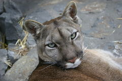 Puma. Portrait of the wild cat puma captured in the zoo Stock Photography