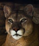 Puma portret Zdjęcia Royalty Free