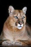 Puma portret na czerni Fotografia Stock