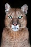 Puma portret z pięknymi oczami Obrazy Stock