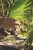 Puma prowling through jungle foliage royalty free stock images