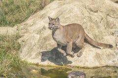 Puma (Puma concolor). Jumping off n a rock Stock Images