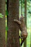 Puma, Puma concolor, kletternd auf dem Baum, im Waldnaturlebensraum, Porträtgefahrentier mit Stein, USA Stockfotografie