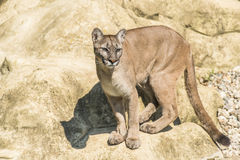 Puma (Puma concolor). Standing on a rock Royalty Free Stock Photography