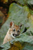 Puma, Puma concolor, verstecktes Porträtgefahrentier mit Stein, USA Stockfoto