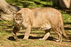 Puma, puma ou puma images libres de droits