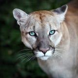 Puma, puma, portrait sauvage de chat images stock