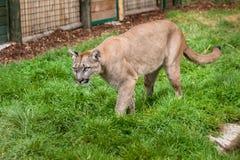 Puma que acecha con recinto Foto de archivo libre de regalías
