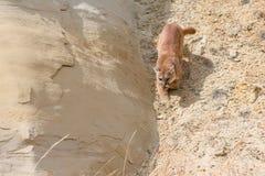 Puma que camina abajo del barranco Foto de archivo
