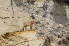 Puma regardant au-dessus du canyon Image libre de droits