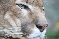 Puma Resting and Looking Straight Stock Photography