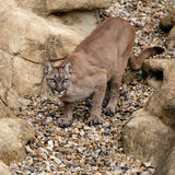 Puma on Rock Crouching Ready to Pounce. Felis Concolor Stock Photography