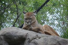 Puma Stock Photography