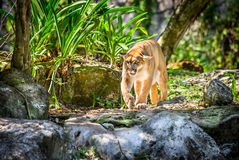 Puma salvaje Imagen de archivo