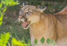 Puma sauvage Image libre de droits
