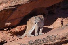 Puma se tenant sous le rebord en soleil de matin Images stock