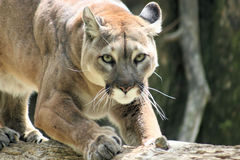 Puma selvagem Imagem de Stock Royalty Free