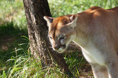 Puma in the shade Royalty Free Stock Photography