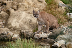 Puma Sitting on Rocks Stock Photo