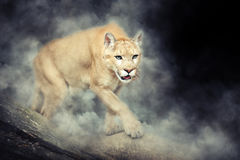 Puma in smoke Royalty Free Stock Photography
