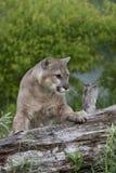 Puma som balanseras för handling Arkivfoton